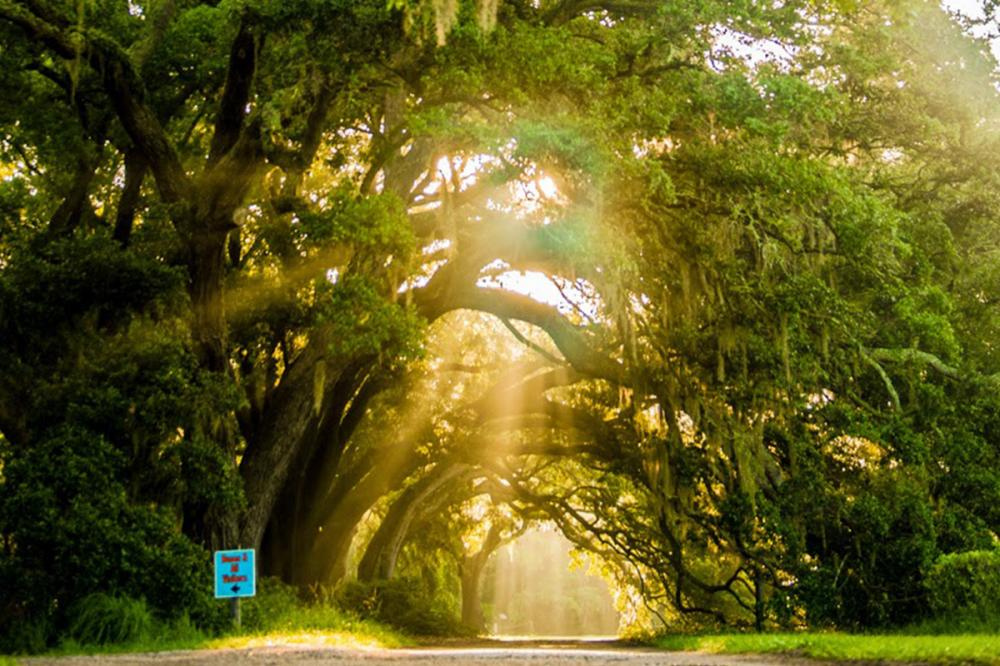 Charleston Tea Plantation The Official Digital Guide To